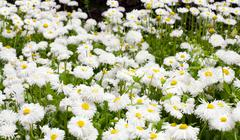 daisy plant - stock photo