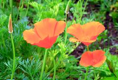 Stock Photo of california golden poppy