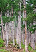 summer pine forest on hill - stock photo
