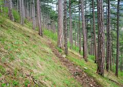 Wood trail in summer pine forest on hill Stock Photos