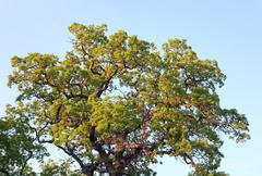 big oak tree top - stock photo