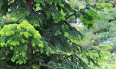 fir tree - stock photo