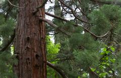 sequoia tree - stock photo