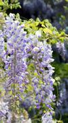 """""""wisteria sinensis"""" - stock photo"""