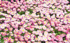 daisy plant - stock photo