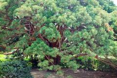 "Stock Photo of evergreen red tree ""arbutus andrachne"" (crimea, ukraine)"
