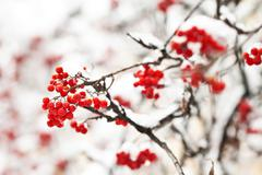 Stock Photo of ashberry in winter under frost close view