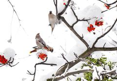 three waxwings on ashberry tree branch in winter - stock photo