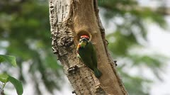 Coppersmith Barbet Bird nests Stock Footage