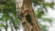 Stock Video Footage of Coppersmith Barbet Bird nests