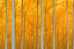Autumn stand of trees ablaze in yellow color Stock Photos