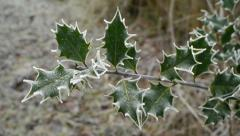 Frosty holly leaves (Ilex aquifolium). Stock Footage