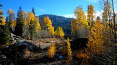 Aspens in the Fall - stock photo