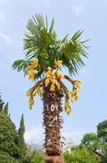 Palm tree blossoming Stock Photos
