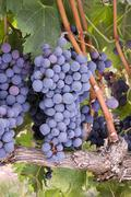 grapes on the vine in vertical composition - stock photo