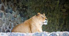 Lioness on stony prominence Stock Photos