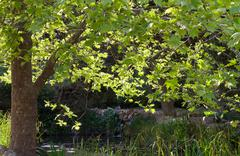 Stock Photo of tree by pond