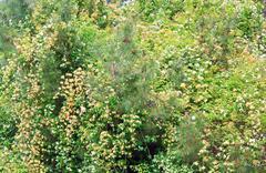 blossom bush - stock photo