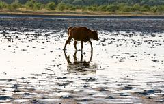 Stock Photo of cow calf go by swamp