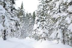 winter wild forest - stock photo