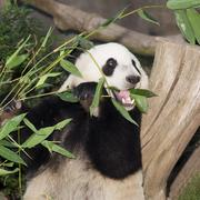 Panda eats lunch Stock Photos