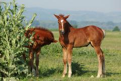Two brown foals.JPG Stock Photos