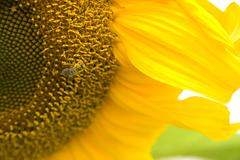 Pollination be working on sunflower Stock Photos