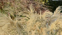 Chinese silver grass (Miscanthus sinensis 'Kaskade') Stock Footage