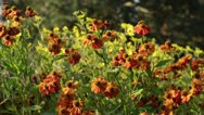 Stock Video Footage of Sneezeweed (Helenium Septemberfuchs)