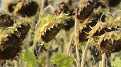 Sunflower (Helianthus annuus) Stock Footage