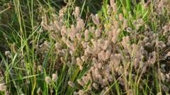 Field clover (Trifolium arvense) - stock footage