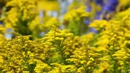Stock Video Footage of Goldenrod (Solidago)