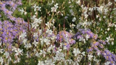 Butterfly gaura (Gaura lindheimeri) and aster (Aster) Stock Footage