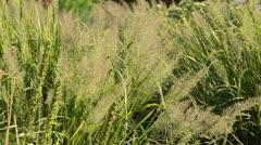 Feather reed grass (Calamagrostis arundinacea var. brachytricha syn. Achnatherum Stock Footage