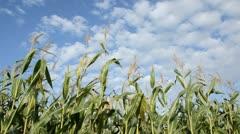 Corn (Zea mays) Stock Footage