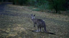 Kangaroo.mp4 Stock Footage