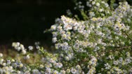 Stock Video Footage of Heath aster (Aster ericoides 'Erlkoenig')