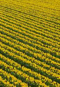 Lots of rows of yellow daffodil flowers in a field. Stock Photos