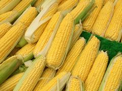 lots of colorful sweetcorn corn cobs close up. - stock photo