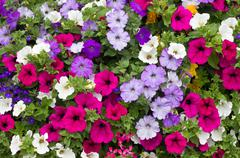 Stock Photo of colorful petunia flowers close up.