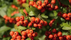 Burning bush (Pyracantha coccinea) Stock Footage