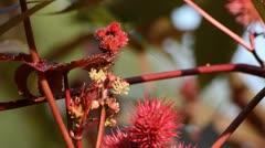 Castor oil plant (Ricinus communis) Stock Footage
