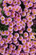 colorful pink aster alpinus flowers. - stock photo
