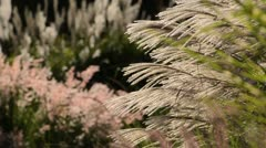 Chinese silver grass (Miscanthus sinensis 'Silberfeder') - stock footage