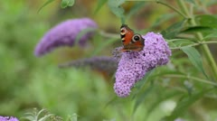 Butterfly bush (Buddleja davidii) and peacock butterfly (Inachis io) Stock Footage
