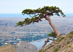 pine tree on summer mountain hill (crimea, ukraine) - stock photo