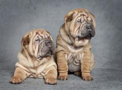 shar-pei puppy dogs - stock photo
