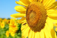 summer scene with bee and sunflower.JPG - stock photo