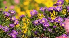 Stock Video Footage of Michaelmas daisy (Aster novi-belgii 'Violetta')