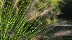 Chinese fountain grass (Pennisetum alopecuroides syn. Pennisetum compressum) Stock Footage